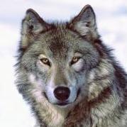 Grauer_Wolf